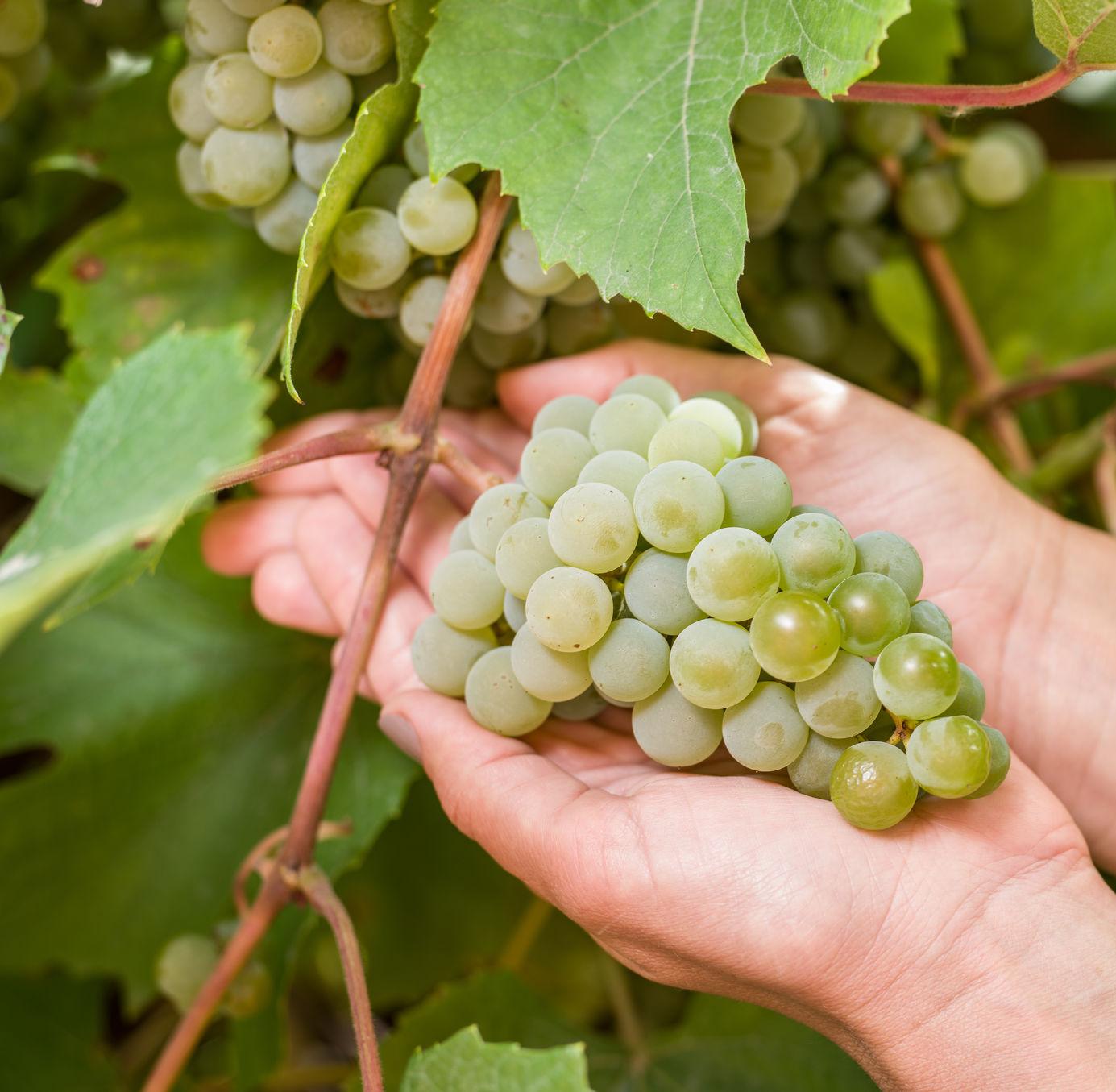 őstermelői igazolvány, magánfőzés, bortermelők